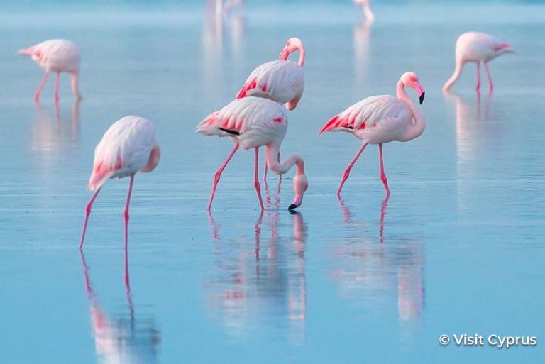 Flamingos Cyprus Credited 24Jun21
