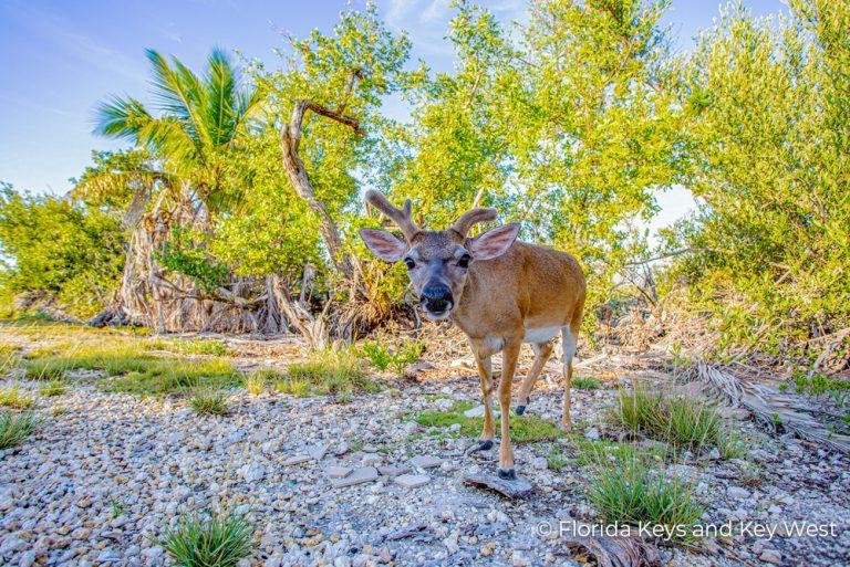 MC-LK Key Deer Florida Keys 25Jun21